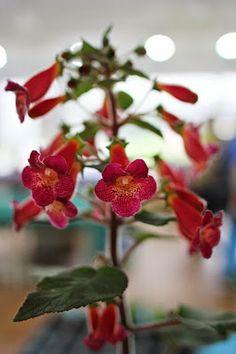 Kohleria 'HCY's Big Smile' Weird Plants, Strawberry, Birds, Stuffed Peppers, Fruit, Vegetables, Pentax K, Flowers, Smile