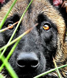 Malinois see bitch you can ask his name all u want. All that u need to know is my homes are very protected from sociopaths and thier offspring. Berger Malinois, Belgian Malinois Dog, Military Working Dogs, Military Dogs, Belgian Shepherd, German Shepherd Dogs, German Shepherds, Beautiful Dogs, Animals Beautiful