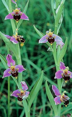 "'Bee Orchid' (Ophrys apifera) - ""This happy little guy gets its name from its resemblance to a smiling bumblebee. The Bee Orchid is widespread across Europe the Middle East & North Africa. It requires a symbiotic relationship with a certain type of fungus in order to successfully grow, making transplanting extremely difficult. The coloring and shape of the flower mimics the look and smell of a female bee which entices male bees towards it to mate, thus expediting the pollination process!"""