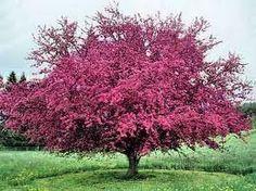 flowering crab tree - Google Search