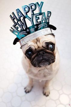 desktop wallpapers happy new year pug dog photos in high quality and resolution