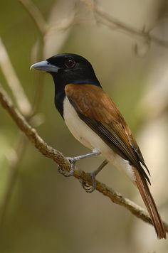 The Rufous Vanga (Schetba rufa) is a species of bird in the Vangidae family. It is monotypic within the genus Schetba.[citation needed] It is endemic to Madagascar.