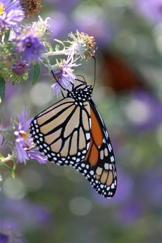Monarch by CASPER1830.deviantart.com on @deviantART