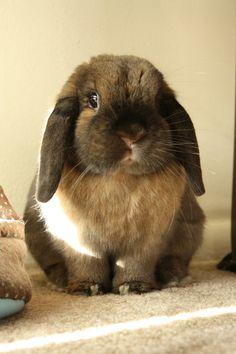 Lop Bunny Is So, So Round