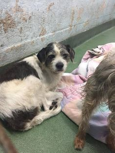 DINO - ID#A1674038 I am an unaltered male, white and black Terrier mix. The shelter staff think I am about 3 years old I have been at the shelter since Jan 19, 2015. — Miami Dade County Animal Services. https://www.facebook.com/urgentdogsofmiami/photos/pb.191859757515102.-2207520000.1422089109./914687441898993/?type=3&theater