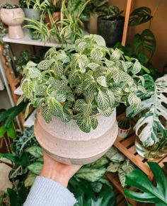 """Cto leaf_corner. Fittonia is a genus of perennial plants belonging to the Acanthaceae family. The plants of this genus are native to the rainforests of South America (Colombia and Peru). They are most often called by their Latin name """"Fittonia"""", """"Nerve plants"""" or """"Mosaic plants"""". These pretty little indoor plants are perfect for tabletops, hanging baskets, and terrariums. The patterned foliage of these trailing, drooping houseplants is very striking with oval, deep-green leaves arranged in…"""