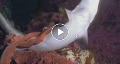 Polvo Ataca e Engole Tubarão http://www.desconcertante.com/polvo-ataca-e-engole-tubarao/