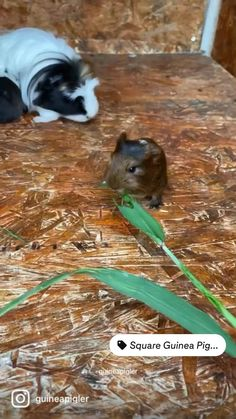 Baby Guinea Pigs, Guinea Pig Care, Cute Little Animals, Cute Funny Animals, Animal Quotes, Animal Memes, Pig Family, Pet Rats, Funny Animal Videos