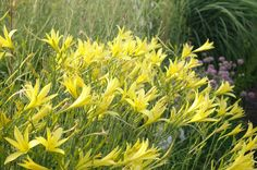 Hemerocallis citrina x ochroleuca Stipa, Herbaceous Perennials, Family Garden, Day Lilies, Lemon Yellow, Garden Plants, Grass, Landscape, Epson