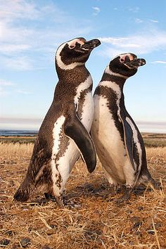 Amenazados anteriormente por derrames de petróleo, los pingüinos de Magallanes (Spheniscus magellanicus) se enfrentan ahora a la pérdida de los peces que le sirven de alimento.  ©: WWF