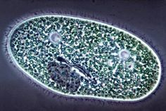 Single-celled organism