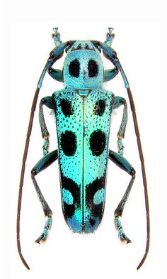 Eutetrapha llini Beetle Insect, Beetle Bug, Insect Art, Weird Insects, Bugs And Insects, Longhorn Beetle, Grasshoppers, Beautiful Bugs, Love Bugs