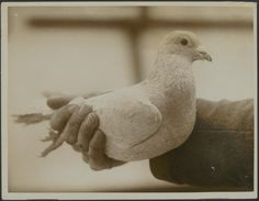History of homing pigeons--on my blog.