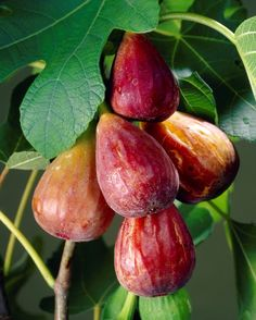 """Ficus """"Brown Turkey"""" Fig Tree plant cold hardy--just potted one up today. Ficus, Exotic Fruit, Tropical Fruits, Fruit Plants, Fruit Trees, Citrus Trees, Fruit And Veg, Fruits And Vegetables, Fig Fruit"""
