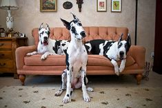 #greatdane s by Betty Schlueter on flickr