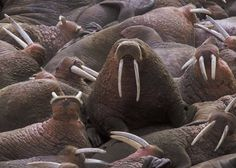 Marine Mammals Management, managed by the U. Fish and Wildlife Service, conserves wildlife and wilderness in northeast Alaska for present and future generations. Funny Animal Pictures, Funny Animals, Cute Animals, Random Pictures, Wild Animals, Alaska Sealife Center, Macro Pictures, I Am The Walrus, Oh Beautiful