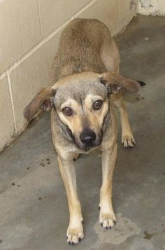 URGENT HIGH KILL ANIMAL SHELTER!!  Lee County Animal Shelter NC.  Male, 2Yrs 0 Months   black/brown Mix Dog 12664