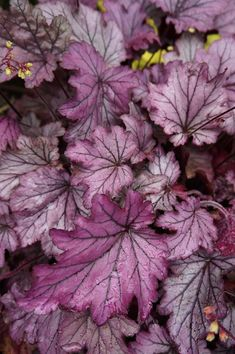 what a beautiful range of purples. hope I can find and grow this in my zone. Garden Deco, Garden Yard Ideas, Garden Projects, Herbaceous Perennials, Flowers Perennials, Coral Bells Heuchera, Woodland Garden, Foliage Plants, Landscaping Plants