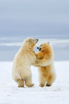 Arctic Dance - Polar bear cubs by Siddhardha Garige