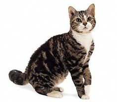 American Wirehair Cat Breeds - Cats In Care American Wirehair, Cool Cats, Exotic Cat Breeds, Purebred Cats, Cat Diseases, American Shorthair Cat, Rare Cats, Types Of Cats, Pet Breeds