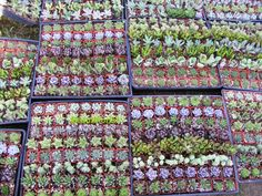 64 Assorted Succulent Plants - 2 inch pot !! Great for wedding party favors | Home & Garden, Yard, Garden & Outdoor Living, Plants, Seeds & Bulbs | eBay!