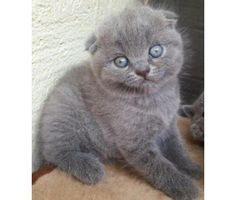AWEASOME TRAIN SCOTTISH FOLD kittens for good homes is a Scottish Fold Kitten For Sale in Bronx NY