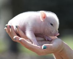 Gallery - The Little Pig Farm Ontario Cute Baby Pigs, Cute Piglets, Cute Babies, Tiny Pigs, Pet Pigs, Cute Little Animals, Little Pigs, Mini Pigs For Sale, Pot Belly Pigs