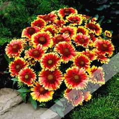 Chrysanthemum carinatum seeds-Painted Daisy Flower Seed for home garden  bonsai.100pcs / bag tricolor daisy seeds. Mixed Color