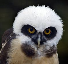 Juvenile Spectacled Owl ~~ | Awesome Animals: Birds of Prey | Pint ...