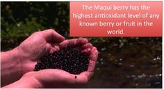 Maqui Berry Benefits For Weight Loss and Overall Health