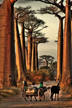 Avenue of Baobabs in Madagascar