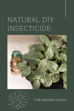 Use this easy Natural Insecticide recipe to removes bugs and pests from your indoor plants | DIY Insecticide | Pest Removal | Bugs | Plant Care | Indoor Plant Health | Plant Tips | Infestation | Get Rid Of Spiders, Natural Insecticide, Mealy Bugs, Spider Mites, Plant Health, Abcs, Amazing Recipes, Plant Care, Meal Ideas