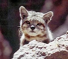 Andean Mountain Cat |
