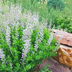 Baptisia  Also called false indigo for its blue springtime flowers, baptisia is a native prairie plant with deep roots that push through the toughest clay soil. Other selections extend baptisia's color range to white, yellow, and purple.  Name: Baptisia selections  Zones: 3-9