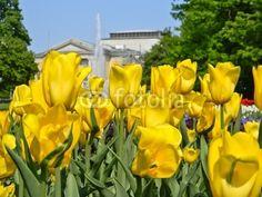Gelbe Tulpen mit Blick auf Hallesche Oper © mihi