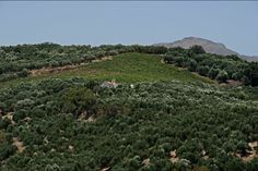 Anoskeli! www.blueoliveoil.com #islandofcrere #greece #evoo #extravirginoliveoil