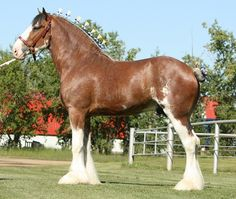 Clydesdale stallion - Willow Way Ideal Zorra Highland Captain x Willow Way Chanel (x Live Oak Omega)
