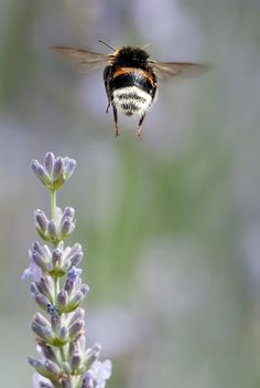 I've heard that bees shouldn't be able to fly, aerodynamically speaking. their wings are too small for their bodies. Well, no one told those bees they couldn't fly! Bumble Bees are Beautiful!
