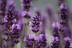 Etheric Lavender Essence Empowerment - New Earth Energies Reiki Butterfly Garden Plants, Planting Flowers, Plants That Repel Spiders, Purple Perennials, Fly Repellant, Identify Plant, Ficus Elastica, Mosquitos, Language Of Flowers
