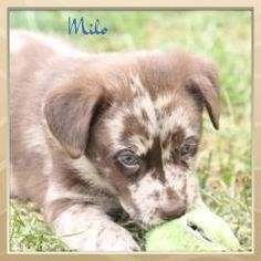 Milo is an adoptable Australian Shepherd Dog in Madison Heights, MI. Milo is a gorgeous 8-week old Australian Shepherd/Chocolate Lab mix puppy.  He is very energetic and playful.  Milo requires an act...