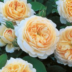- David Austin English Roses - Crocus Rose – David Austin English Roses -Crocus Rose - David Austin English Roses - Crocus Rose – David Austin English Roses - Our 2019 David Austin Rose Collection Types Of Flowers, Pretty Flowers, Beautiful Roses, Beautiful Gardens, Simply Beautiful, David Austin Rosen, Rose Foto, Growing Roses, Tulips