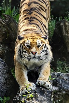 tiger by .magnificent and burning bright Vida Animal, Mundo Animal, My Animal, I Love Cats, Big Cats, Beautiful Cats, Animals Beautiful, Tiger Love, Wild Forest