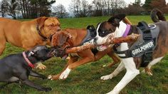 My little Staffordshire rescue VS two big boxers in tug of war   http://ift.tt/2mreAUg via /r/dogpictures http://ift.tt/2mr7jDA  #lovabledogsaroundtheworld