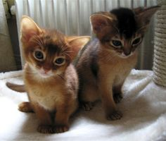 abyssin, abyssinian   Flickr - Photo Sharing!
