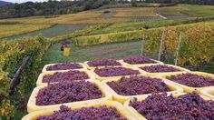 #Vendanges2015 : Gew