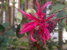 Lorapetalum bloom, April 2015