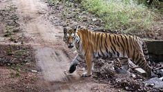 Will work out a scheme to protect tiger corridors: Prakash Javadekar | india | Hindustan Times