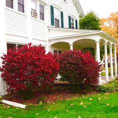 Burning bushes in full color on east side of house!