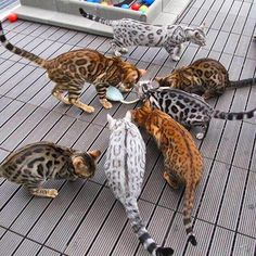 Bengal cats in different colors--love the dark gray one!!