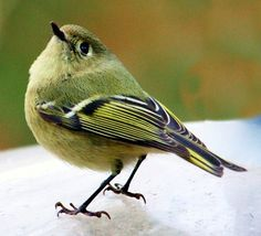 Ruby-crowned Kinglet.   ...........click here to find out more     http://googydog.com